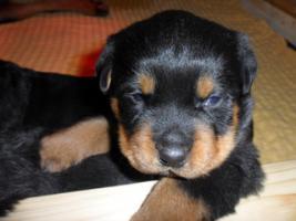 Foto 5 Rottweiler-Welpen