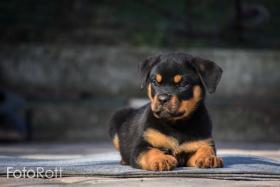 Foto 4 Rottweiler Welpen zum Verkauf