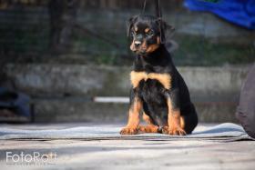 Foto 5 Rottweiler Welpen zum Verkauf