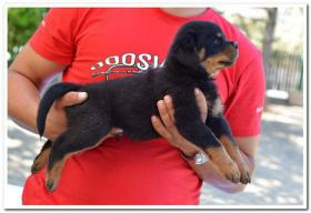 Foto 2 Rottweiler Welpen zu verkaufen