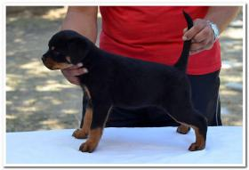 Foto 4 Rottweiler Welpen zu verkaufen