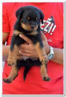 Foto 5 Rottweiler Welpen zu verkaufen
