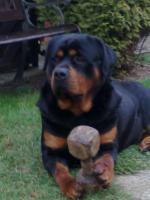 Foto 2 Rottweiler  --Deckrüde--