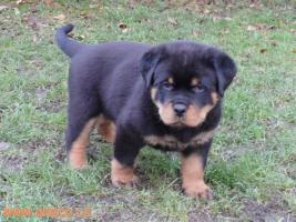 Rottweiler - puppy dogs with pedigree