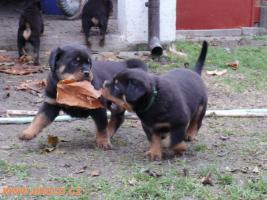 Foto 2 Rottweiler - puppy dogs with pedigree