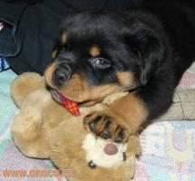 Foto 3 Rottweiler - puppy dogs with pedigree