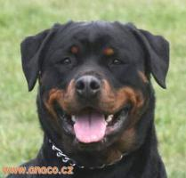 Foto 4 Rottweiler - puppy dogs with pedigree