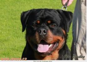 Foto 5 Rottweiler - puppy dogs with pedigree