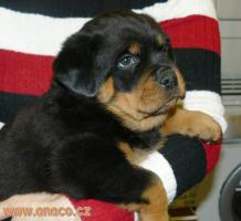 Foto 6 Rottweiler - puppy dogs with pedigree