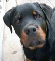 Rottweilerr�de Otto, 6 Monate