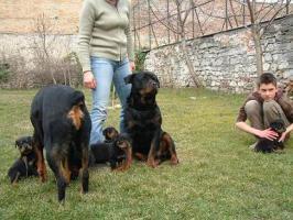 Foto 2 Rottweilerweibchen aus UNGARN zu verkaufen