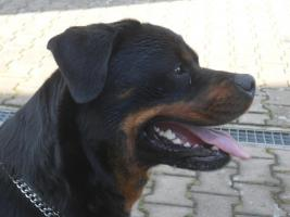 Foto 2 Rottweilerwelpen
