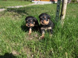 Foto 3 Rottweilerwelpen