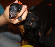 Foto 5 Rottweilerwelpen