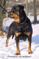 Foto 2 Rottweilerwelpen vom Nesenbach
