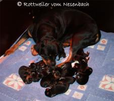 Foto 5 Rottweilerwelpen vom Nesenbach