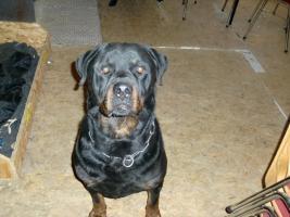Foto 2 Rottweilerwelpen ( reinrassig )