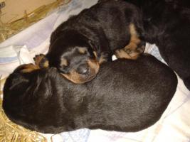 Foto 3 Rottweilerwelpen ( reinrassig )