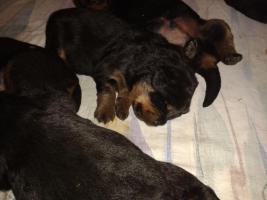 Foto 4 Rottweilerwelpen ( reinrassig )