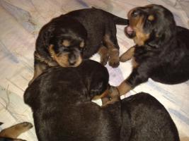 Foto 6 Rottweilerwelpen ( reinrassig )
