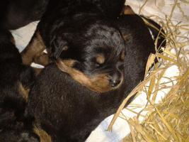Foto 7 Rottweilerwelpen ( reinrassig )