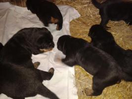 Foto 8 Rottweilerwelpen ( reinrassig )