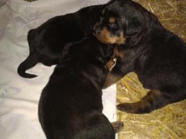 Foto 9 Rottweilerwelpen ( reinrassig )