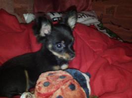 Russ Toy Terrier H�ndin