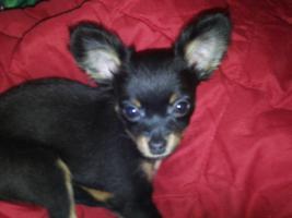 Foto 2 Russ Toy Terrier H�ndin