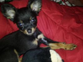 Russ Toy  Terrier H�ndin