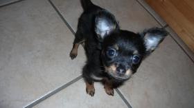 Foto 2 Russ Toy  Terrier Hündin