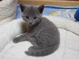 Russisch Blau Kätzchen