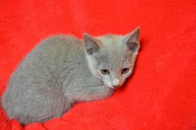Foto 3 Russisch Blau Kätzchen mit Stammbaum