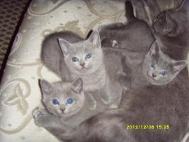 Russisch Blau Kitten!!!