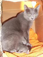 Russisch Blau Kitten abzugeben weibl und männl