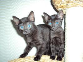 Russisch Blau / Siam Mix Kitten abzugeben