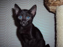 Foto 2 Russisch Blau / Siam Mix Kitten abzugeben