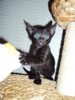 Foto 3 Russisch Blau / Siam Mix Kitten abzugeben