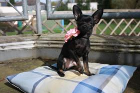 Russisch Toy Terrier