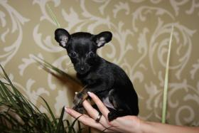 Foto 2 Russisch Toy Terrier