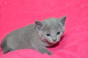 Foto 3 Russisch blau Kätzchen mit Papiere