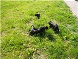 Russische Schwarze Terrier