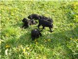 Foto 3 Russische Schwarze Terrier