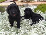 Foto 2 Russische Schwarze Terrier