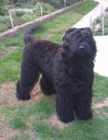 Foto 6 Russische Schwarzer Terrier zu verkaufen