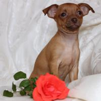 Russische Toy -Terrier Welpe * Mini *