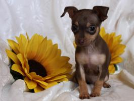 Foto 2 Russische Toy -Terrier Welpe * Mini *