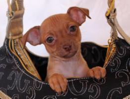 Foto 4 Russische Toy -Terrier Welpe * Mini *