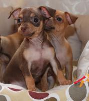 Foto 5 Russische Toy -Terrier Welpe * Mini *