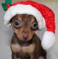 Russische Toy - Terrier Welpen.